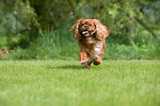 DOG 09 GL0005 01 © Kimball Stock Cavalier King Charles Spaniel Male Running On Grass