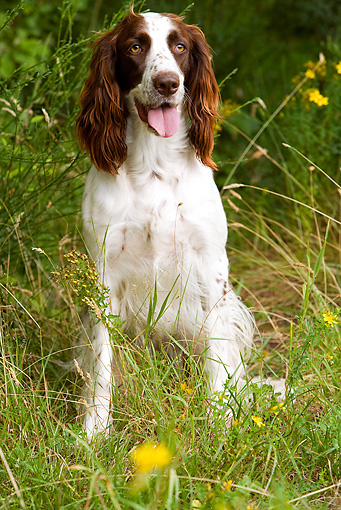 DOG 09 JE0003 01 © Kimball Stock French Spaniel Sitting In Field