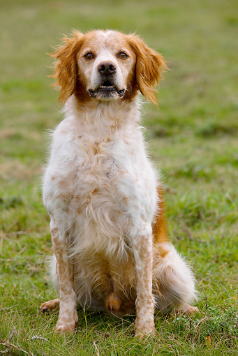 DOG 09 JE0005 01 © Kimball Stock Brittany Spaniel Sitting In Grass Field