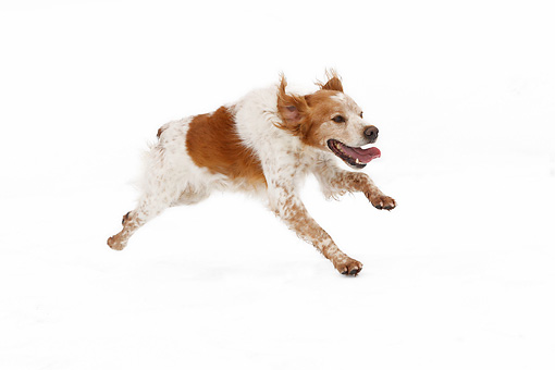 DOG 09 JE0007 01 © Kimball Stock Brittany Spaniel Running On White Seamless
