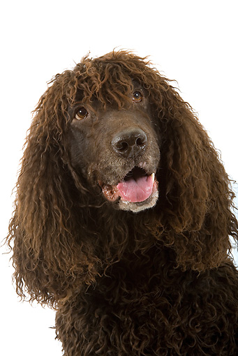 DOG 09 JE0008 01 © Kimball Stock Head Shot Of Irish Water Spaniel On White Seamless