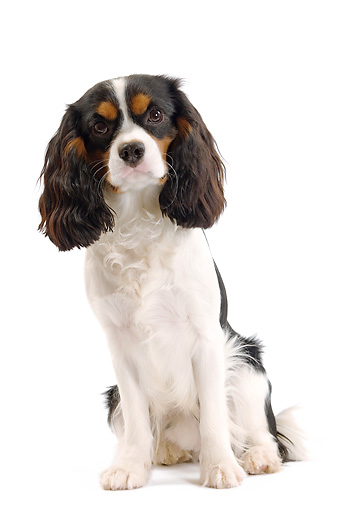 DOG 09 JE0011 01 © Kimball Stock Cavalier King Charles Spaniel Sitting On White Seamless