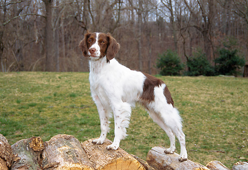 DOG 09 JN0001 01 © Kimball Stock Brittany Spaniel Standing On Woodpile At Edge Of Woods