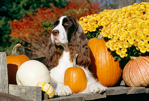 DOG 09 JN0006 01 © Kimball Stock English Springer Spaniel Laying By Pumpkins And Yellow Flowers