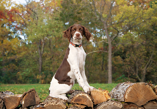 DOG 09 JN0008 01 © Kimball Stock Brittany Spaniel Sitting On Woodpile