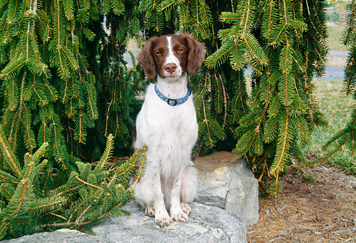 DOG 09 JN0009 01 © Kimball Stock Brittany Spaniel Sitting On Rock By Pine Tree