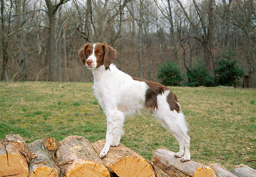 DOG 09 JN0010 01 © Kimball Stock Brittany Spaniel Standing On Woodpile