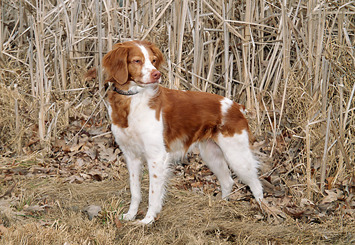 DOG 09 JN0011 01 © Kimball Stock Brittany Spaniel Standing On Dry Grass And Fallen Leaves