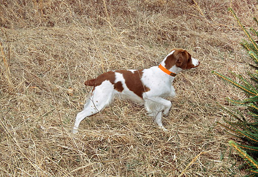 DOG 09 JN0012 01 © Kimball Stock Brittany Spaniel Hunting On Dry Grass