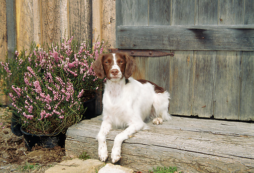 DOG 09 JN0013 01 © Kimball Stock Brittany Spaniel Resting On Wooden Step By Pink Flowers