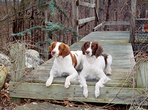 DOG 09 JN0014 01 © Kimball Stock Two Brittany Spaniels Resting On Wooden Deck