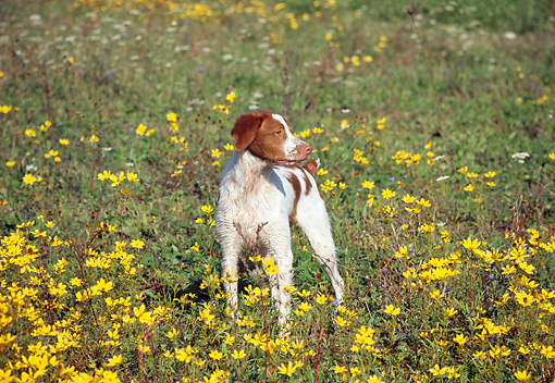 DOG 09 JN0021 01 © Kimball Stock Brittany Spaniel Standing In Field Of Wildflowers