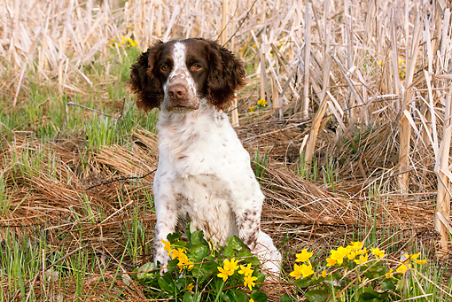 DOG 09 LS0013 01 © Kimball Stock English Springer Spaniel Sitting In Cattail Marsh In Spring