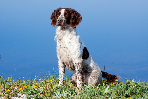 DOG 09 LS0014 01 © Kimball Stock English Springer Spaniel Sitting By Edge Of Pond In Spring