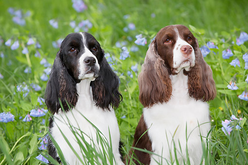 DOG 09 LS0019 01 © Kimball Stock Two English Springer Spaniels Sitting In Bluebells In Rockton, Illinois