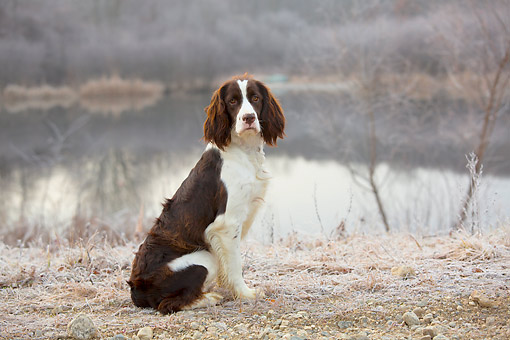DOG 09 LS0021 01 © Kimball Stock English Springer Spaniel Sitting By Pond On Frosty Morning