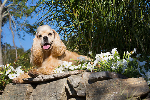 DOG 09 LS0025 01 © Kimball Stock American Cocker Spaniel Lounging In The Sun And Flowers