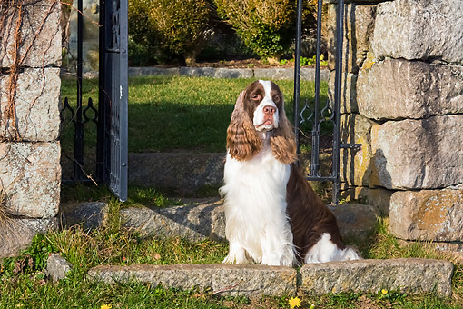 DOG 09 LS0026 01 © Kimball Stock English Springer Spaniel Sitting By Gate In Grass