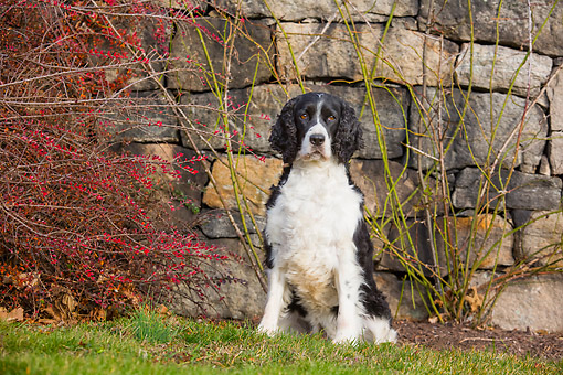 DOG 09 LS0027 01 © Kimball Stock English Springer Spaniel Sitting By Stone Wall