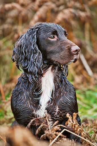 DOG 09 MH0001 01 © Kimball Stock Portrait Of Wet German Spaniel Hunting