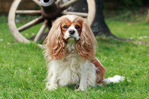 DOG 09 NR0049 01 © Kimball Stock Cavalier King Charles Spaniel Sitting On Grass