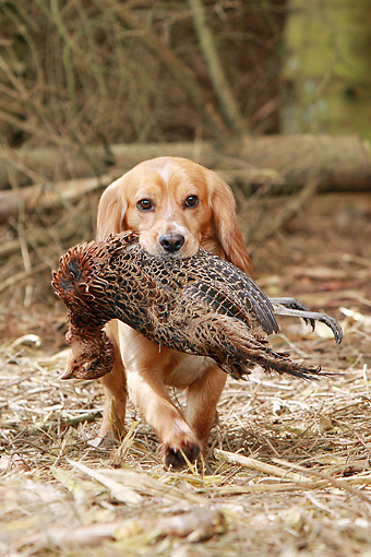 DOG 09 NR0057 01 © Kimball Stock English Cocker Spaniel Carrying Dead Bird