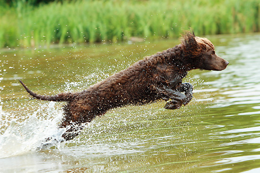 DOG 09 NR0065 01 © Kimball Stock Irish Water Spaniel Jumping Into Lake To Retrieve