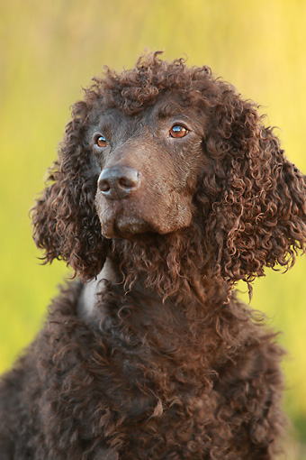 DOG 09 NR0068 01 © Kimball Stock Head Shot Of Irish Water Spaniel
