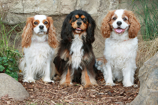 DOG 09 NR0069 01 © Kimball Stock Three Cavalier King Charles Spaniels Sitting On Bark