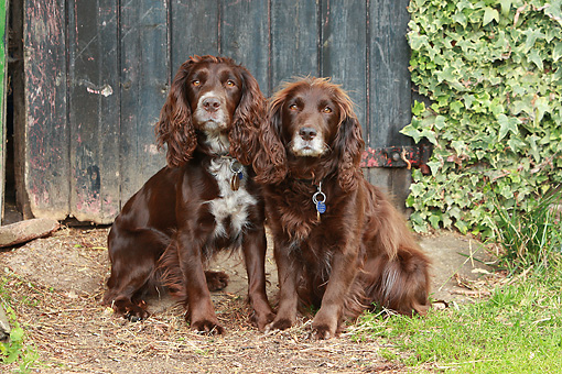 DOG 09 NR0079 01 © Kimball Stock Two Working Cocker Spaniels Sitting By Wooden Door
