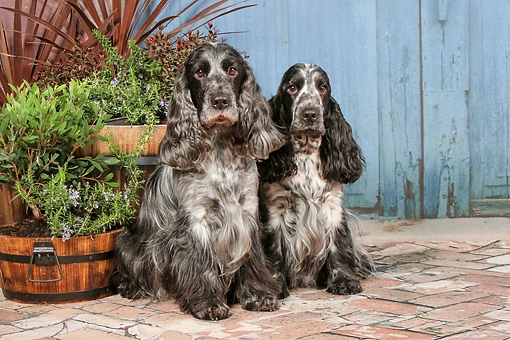 DOG 09 NR0087 01 © Kimball Stock Two English Cocker Spaniels Sitting On Brick By Plants