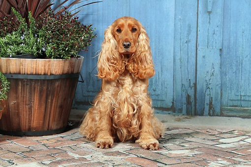 DOG 09 NR0088 01 © Kimball Stock English Cocker Spaniel Sitting On Brick By Plants