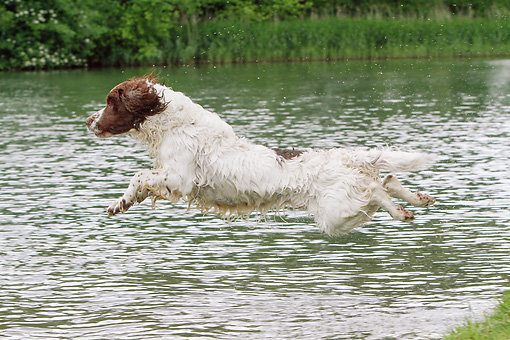 DOG 09 NR0105 01 © Kimball Stock English Springer Spaniel Jumping Into Water