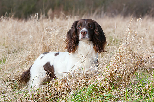 DOG 09 NR0107 01 © Kimball Stock English Springer Spaniel Standing In Dry Grass