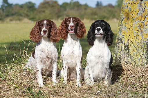 DOG 09 NR0111 01 © Kimball Stock Three English Springer Spaniels Sitting On Grass