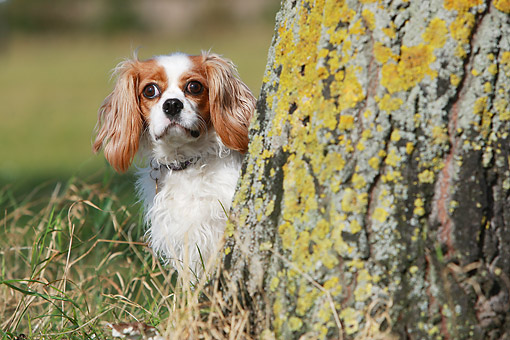DOG 09 NR0122 01 © Kimball Stock Cavalier King Charles Spaniel Sitting On Grass By Tree