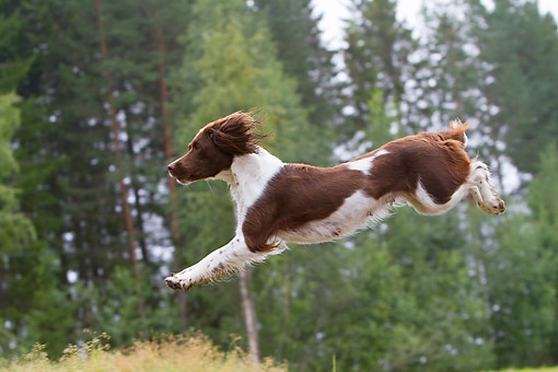 DOG 09 NR0129 01 © Kimball Stock English Springer Spaniel Leaping Through The Air