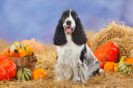 DOG 09 PE0006 01 © Kimball Stock English Cocker Spaniel Sitting In Hay By Pumpkins And Gourds