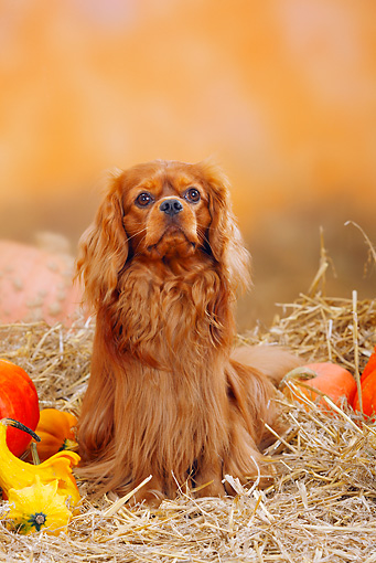 DOG 09 PE0007 01 © Kimball Stock Cavalier King Charles Spaniel Sitting In Hay By Pumpkins And Gourds