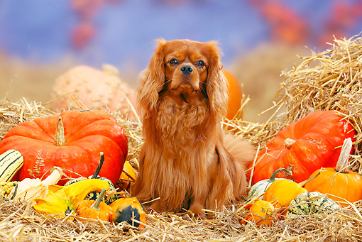 DOG 09 PE0008 01 © Kimball Stock Cavalier King Charles Spaniel Sitting In Hay By Pumpkins And Gourds