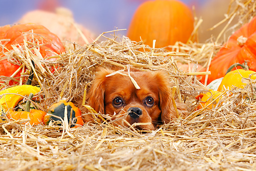 DOG 09 PE0009 01 © Kimball Stock Cavalier King Charles Spaniel Buried In Hay By Pumpkins And Gourds