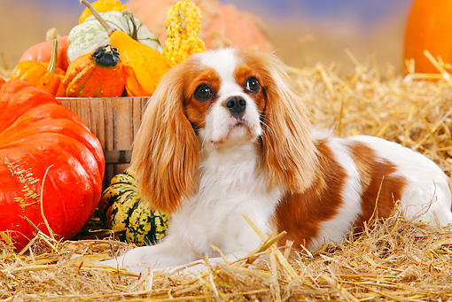 DOG 09 PE0011 01 © Kimball Stock Cavalier King Charles Spaniel Laying In Hay By Pumpkins And Gourds