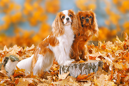 DOG 09 PE0012 01 © Kimball Stock Cavalier King Charles Spaniels Standing On Stump In Autumn Leaves