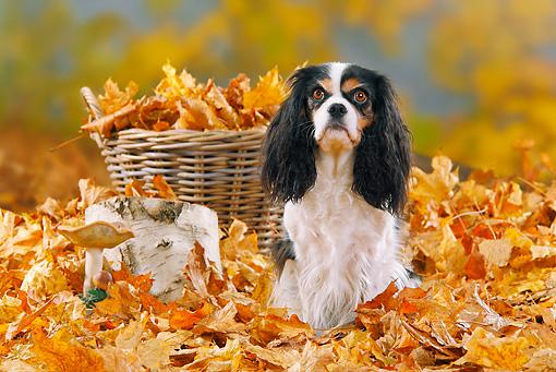 DOG 09 PE0014 01 © Kimball Stock Cavalier King Charles Spaniel Standing In Autumn Leaves By Basket
