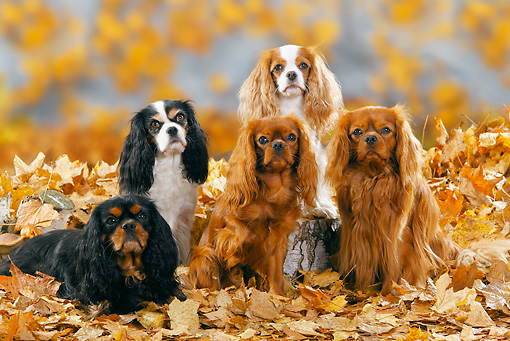 DOG 09 PE0015 01 © Kimball Stock Cavalier King Charles Spaniels Sitting In Autumn Leaves