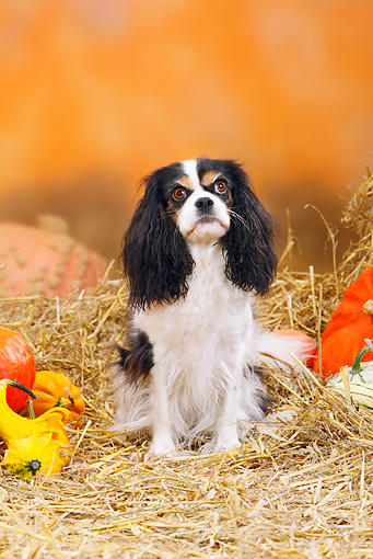 DOG 09 PE0016 01 © Kimball Stock Cavalier King Charles Spaniel Sitting In Hay By Pumpkins And Gourds