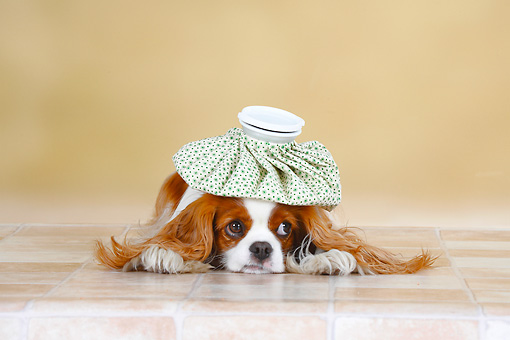 DOG 09 PE0017 01 © Kimball Stock Cavalier King Charles Spaniel Laying On Tile With Ice Pack On Head
