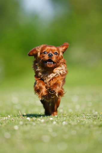 DOG 09 PE0018 01 © Kimball Stock Cavalier King Charles Spaniel Running Through Grass Field