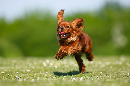 DOG 09 PE0019 01 © Kimball Stock Cavalier King Charles Spaniel Running Through Grass Field