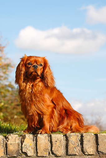 DOG 09 PE0020 01 © Kimball Stock Cavalier King Charles Spaniel Sitting On Brick Wall